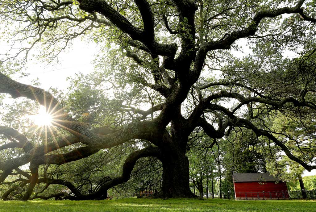The Emancipation Oak stands near the entrance of the Hampton University campus